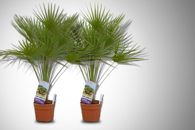 2 Patio Palms