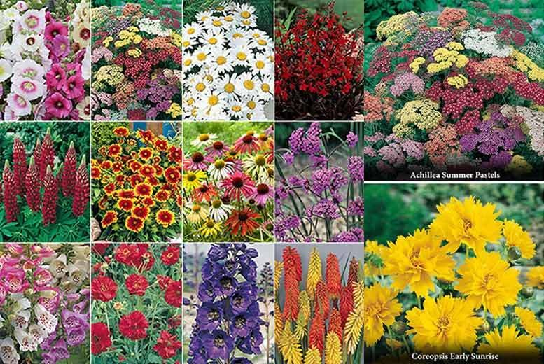 Cottage Garden Perennial Collection – 24 Plants! from £12