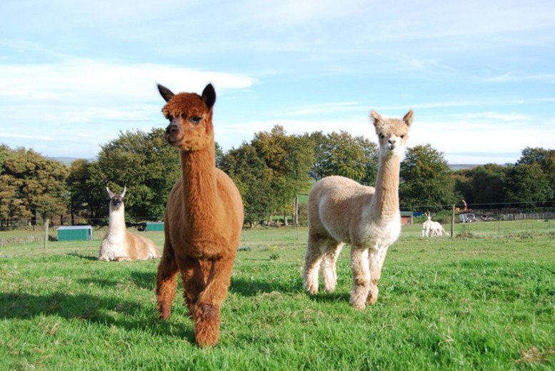 £24 instead of up to £50 for a 2½-hour alpaca trekking experience for two people at Alpaca Annie, Kent - save up to 52%