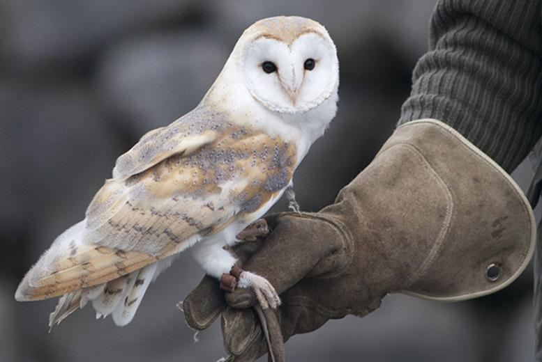 From £12 for a one-hour owl experience, or from £19 for a two-hour falconry experience at Hawks of Steele, Thoresby Park - save up to 66%