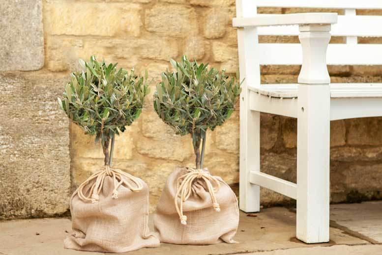 A Pair of Olive Trees –  Mini Standard Form! from £19