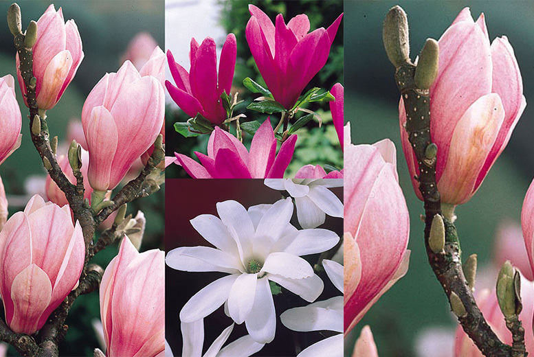 3 Magnolia Shrub Collection from £19.99