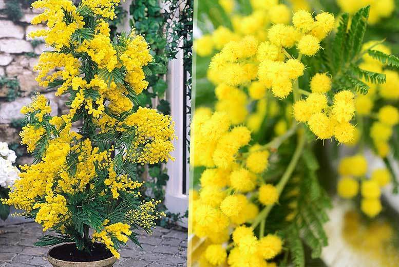 Two Exotic Mimosa Tree Plants for £12