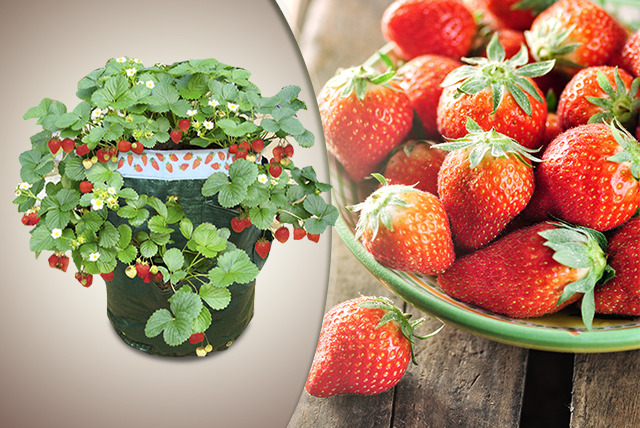 £12.99 instead of £29.98 (from Dobies of Devon) for a grow-your-own strawberry plant kit - save a fruity 57%