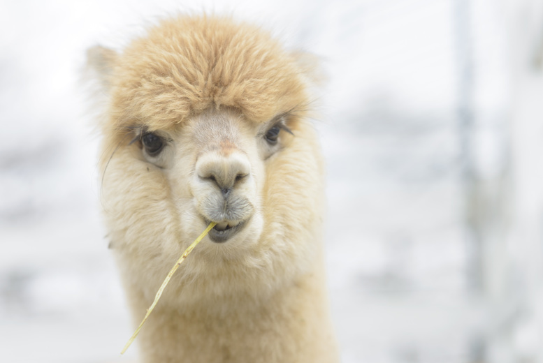 £9 instead of £20 to adopt an alpaca, £29 to include a meet and greet experience at Charnwood Forest Alpacas, Loughborough - save up to 55%