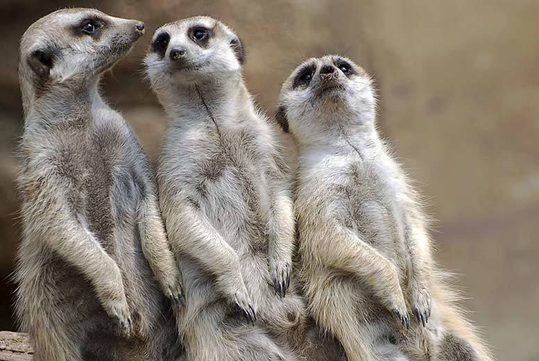 £39 instead of up to £79 for a 'Meet the Meerkats' experience for two people from Activity Superstore - save up to 51%