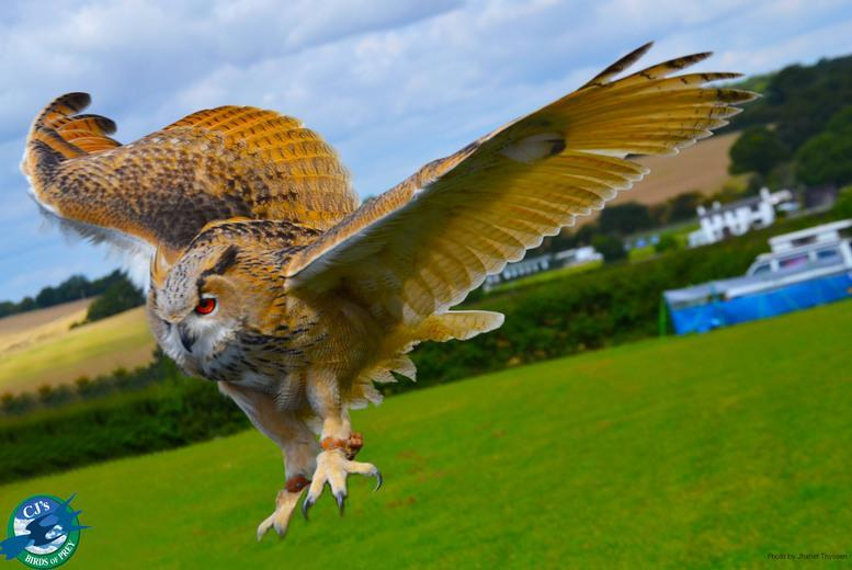 £17 instead of £75 for a two-hour birds of prey experience for one person, £32 for two people at CJ's Birds of Prey, Hertfordshire - save up to 77%