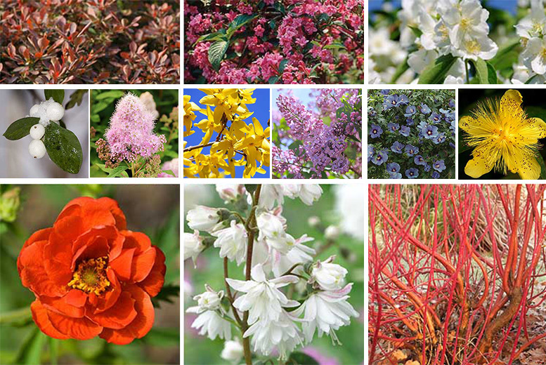 12 Colourful Hardy Shrubs for £14