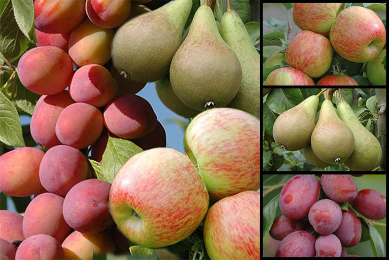 3 Mini Orchard Fruit Trees for £17