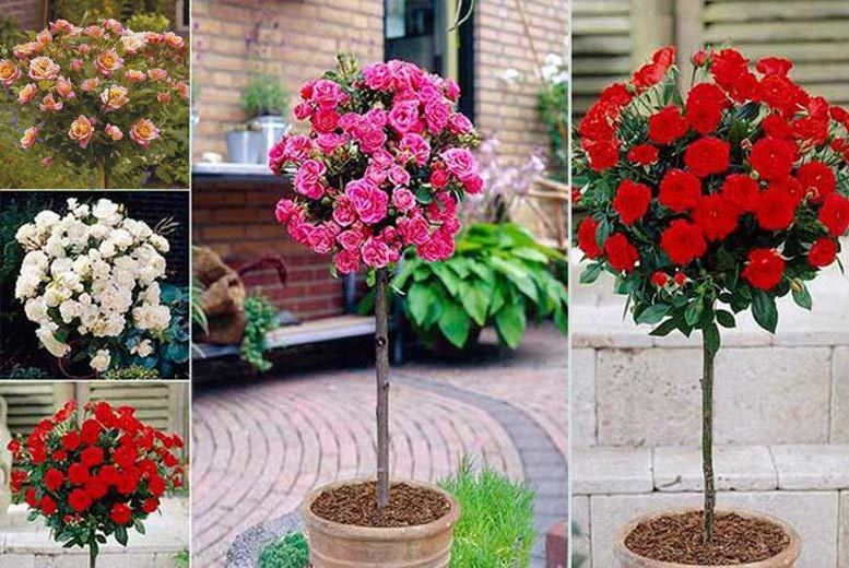 4 Patio Rose Bushes for £16