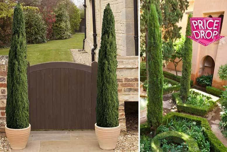 A Pair of Extra-Large Italian Cypress Trees for £19