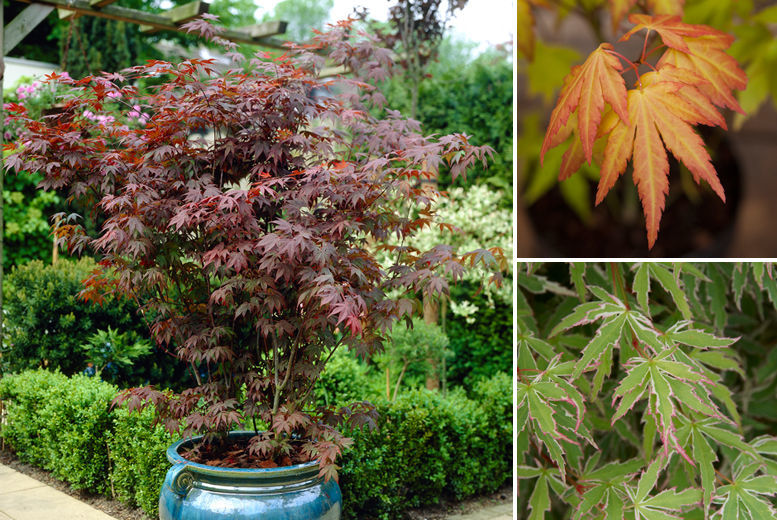 3 Japanese Maple Acer Trees for £14