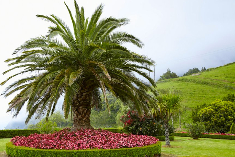 £26.99 instead of £59.99 (from PlantStore) for two Canary Island palm trees and pots - save 55% + DELIVERY INCLUDED