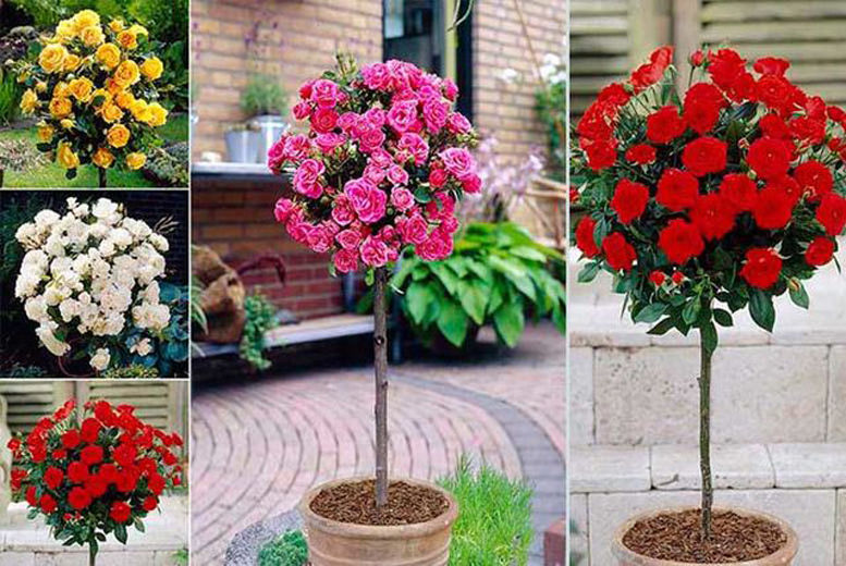 4 Patio Rose Bushes for £16.00