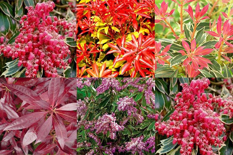 5 Plant Evergreen Pieris Shrub Collection