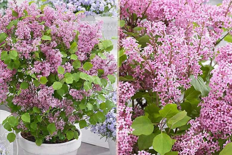 2 Dwarf Korean Lilac Shrubs for £14.99