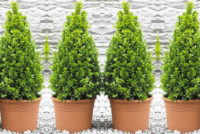 2 Topiary Buxus Pyramid Plants