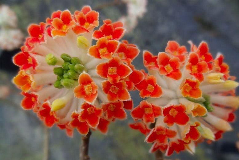 1, 2 or 3 Edgeworthia Red Dragon Honeybush Plants from £9.99