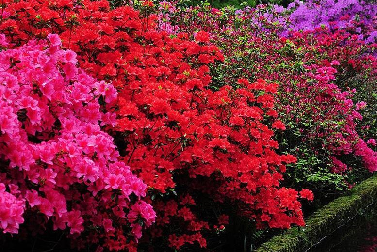 Evergreen Japanese Azalea Plant Rainbow Collection for £16.99