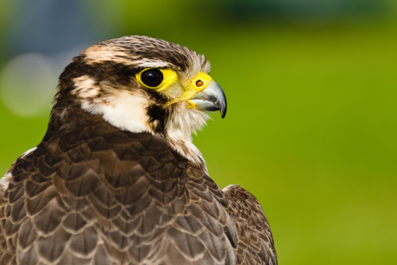 £25 for a 90-minute birds of prey experience meeting falcons, hawks, owls and more, £45 for two people or £85 for four people at Excel Falconry, Ormskirk