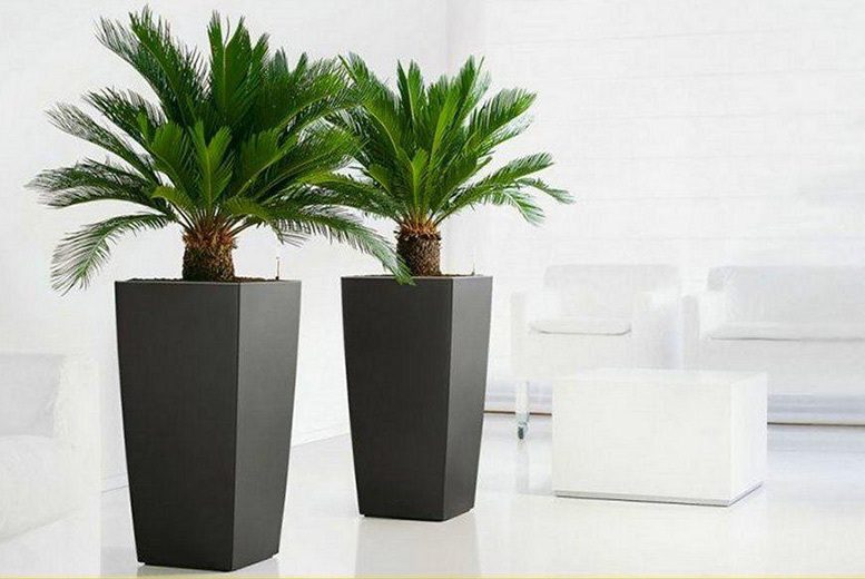 2 King Sago Palm Trees for £24.00