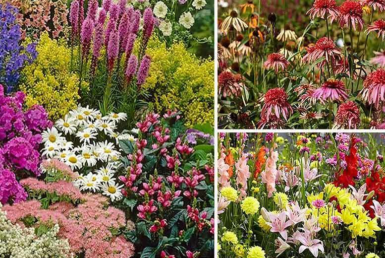 Collection of 10 XL Perennial Border Plants for £24.00