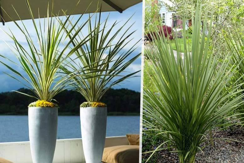 2 Torbay Palm Trees for £19.00