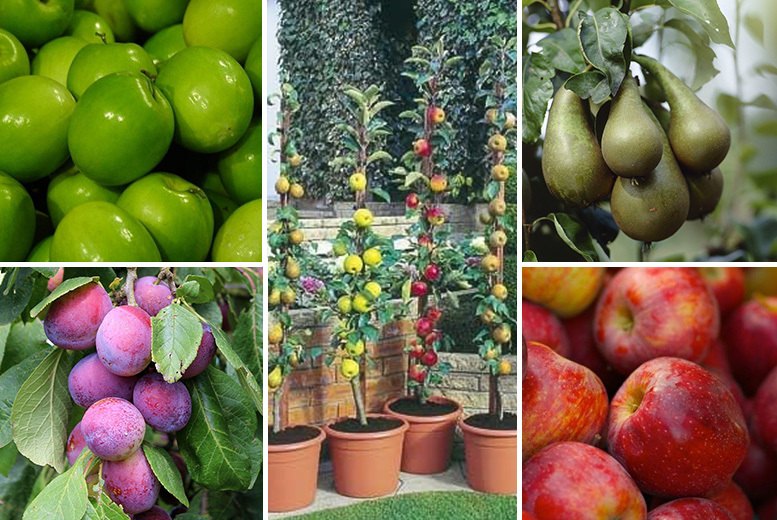 4 or 5-Variety Collection of Mini Pillar Orchard Fruit Trees from £19.00