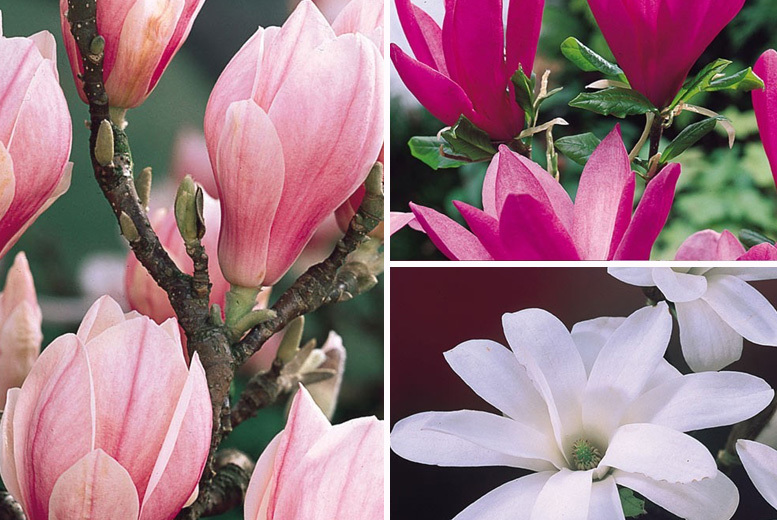 Flowering-Sized Magnolia Shrub Collection – 3 Varieties! for £24.00