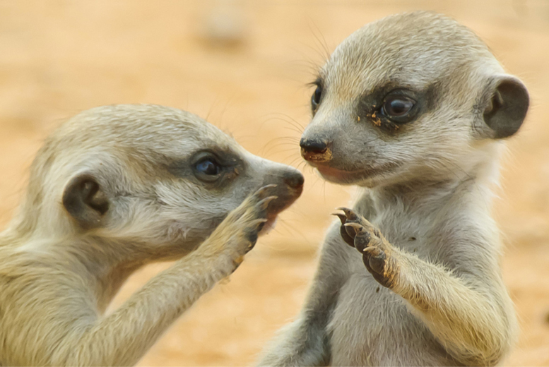 £20 instead of £50 for a one-hour 'Meet the Meerkats' experience for one person, £34 for two people at Hawks of Steele, Thoresby Park - save up to 60%