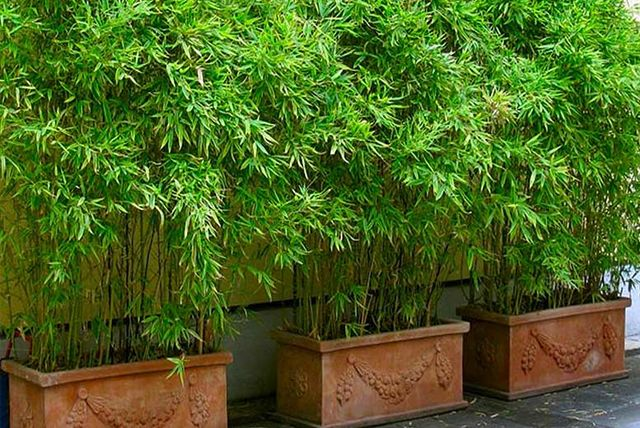 Trio Of Large Clumping Umbrella Bamboo Trees Shop Wowcher