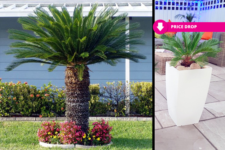 2 Luxury King Cycas Indoor or Outdoor Palm Trees with Planters from £19.00