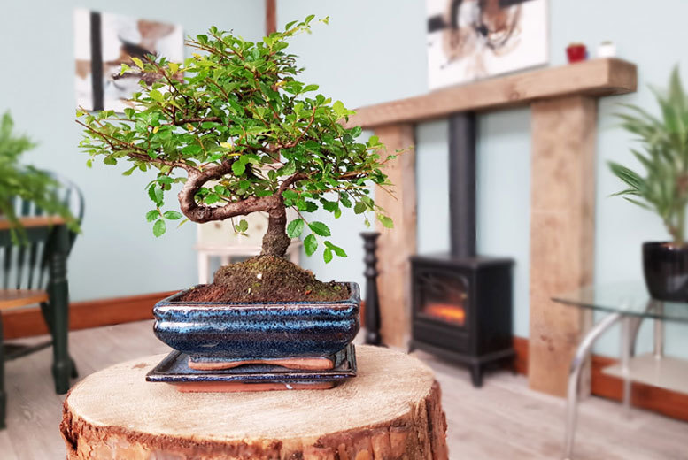 Traditional S-Shaped Chinese Bonsai Tree for £12.99