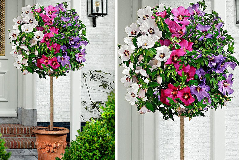 1 or 2 XL Tricolour Hibiscus Trees from £19.00
