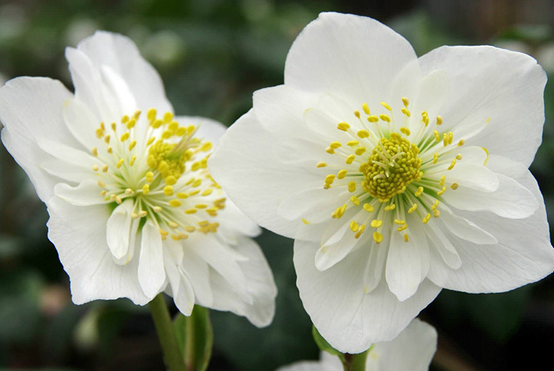 6 White Hellebore Plants for £14.00