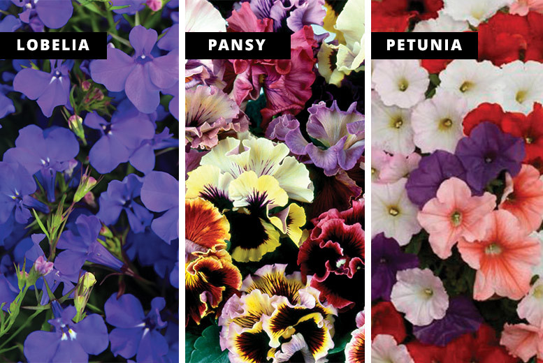 70 or 140 Spring Garden-Ready Plants – 3 Varieties! from £9.99