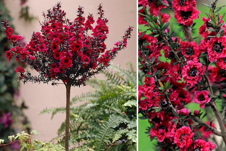 Hardy Tea Tree Leptospermum Standard for £21.00