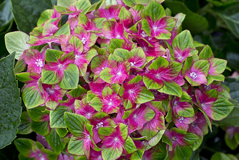 Two Hydrangea 'Glam Rock' Plants for £9.99