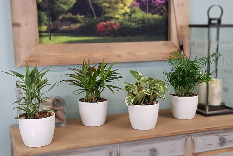 4 x Stylish Indoor or Outdoor Plants with Optional Planters from £17.99
