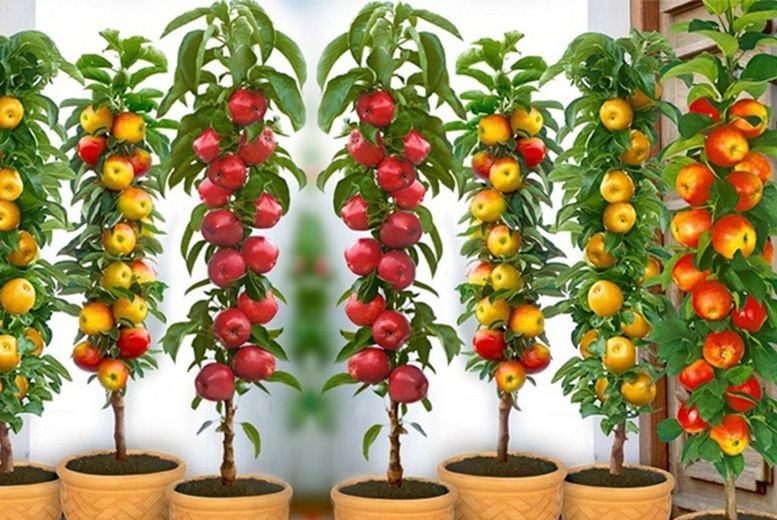 4 Pillar Fruit Tree Collection for £19.00