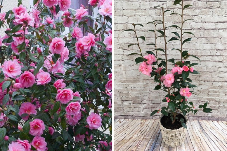 1, 2 or 3 Pink Camellia Spring Festival Plants in Bud from £19.00