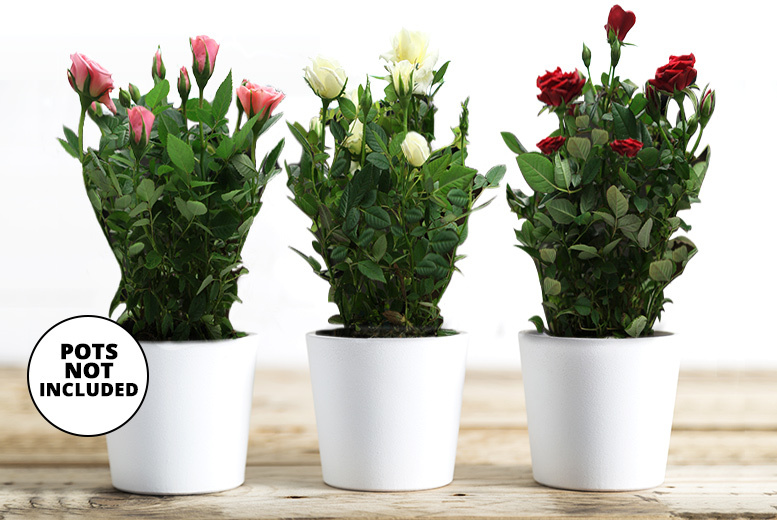 3 Assorted Rose Plants for £12.00