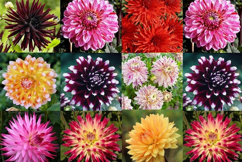 Dahlia Collection – 10 or 20! from £9.99