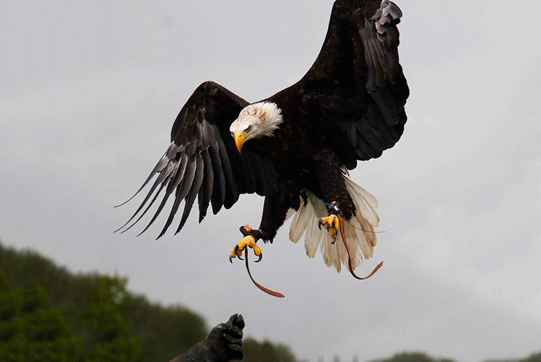 £26 instead of £89 for a half-day hawking experience for one person, £49 for two people at Xtreme Falconry, Dorset - save up to 71%