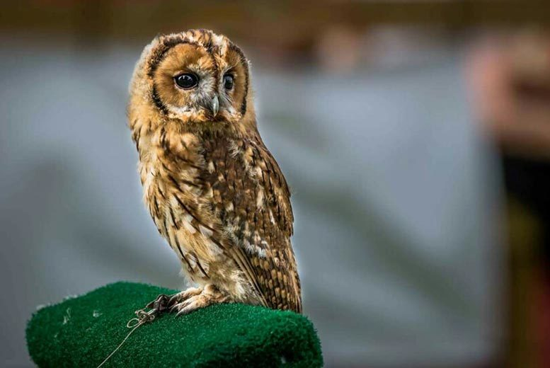 £17 instead of £75 for a two-hour birds of prey experience or owl encounter for one person, £33 for two people at CJ's Birds of Prey, Hertfordshire - save up to 77%