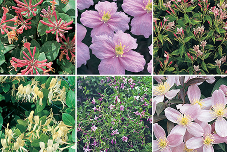 6 or 12 Fragrant Climbing Plants from £9.99
