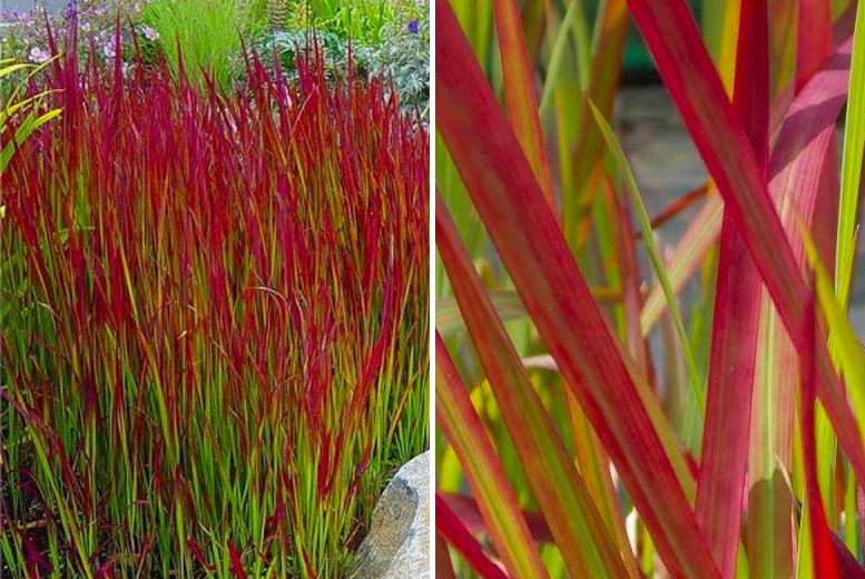 3 'Red Barron' Blood Grasses
